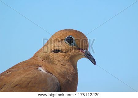 The side profile of a Mourning Dove