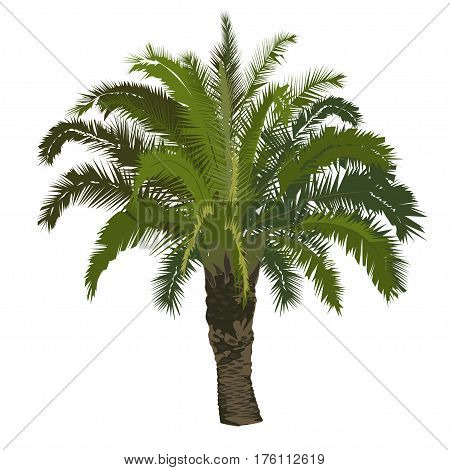 Big date palm tree in color on a white background