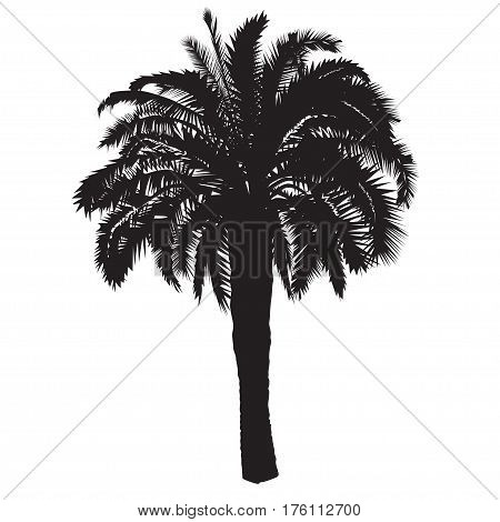 Silhouette of a high date palm tree with fruits on a white background