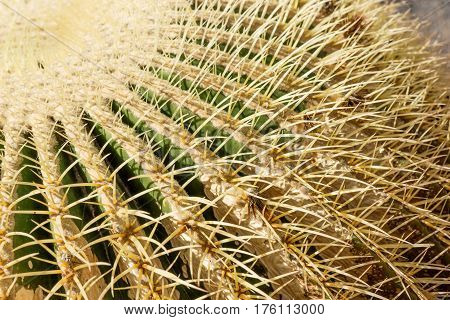 Closeup of the thorny shape of a golden barrel cactus (Cactaceace - Echinocactus grusonii)