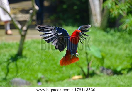 A flying red parrot in a tropical park.
