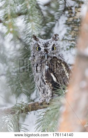 A Western Screech Owl sits on a tree branch in the middle of a snowstorm.