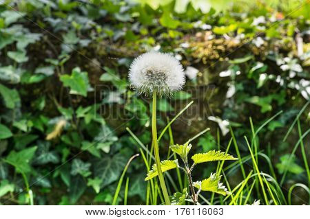 Closeup of dandelion with nettle and grass.