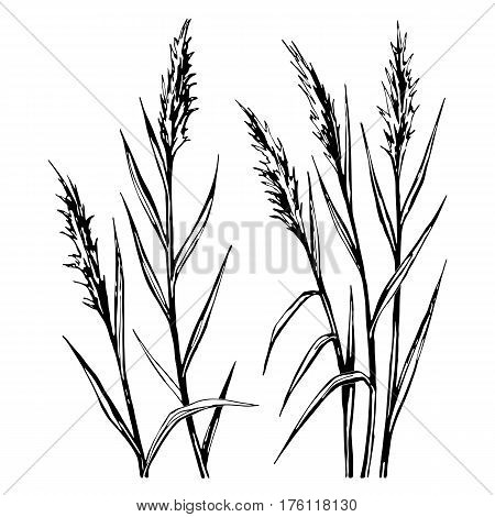 Hand drawn sketch of the reed isolated on white background. All branches are divided. Stock vector illustration.