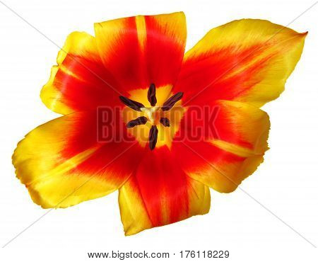 Close up of part of red-yellow tulip flower isolated on white. Clipping path included