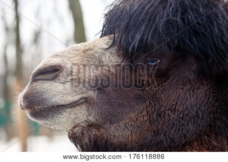 Face of camel on winer park background