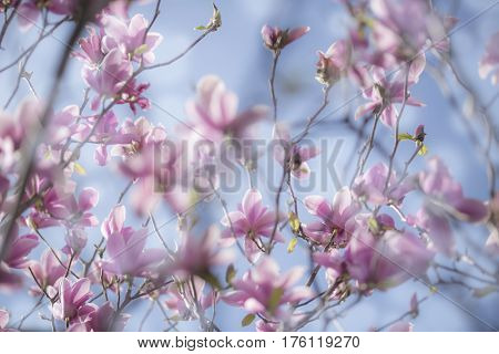 Stunning background of a blooming magnolia