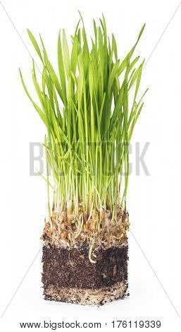 Sprouted wheat, root and ground. Isolated on white background