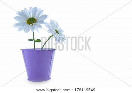 Two isolated white spring daisies in a plant pot with space for text
