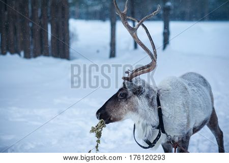 Male reindeer with sawn horns on the background of a winter forest