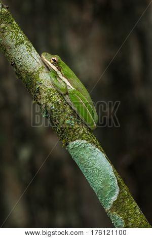 American green tree frog (Hyla cinerea). Wildlife scene.