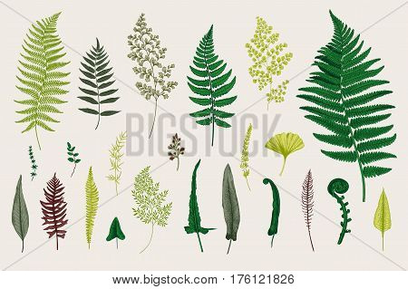 Set Ferns. Vintage vector botanical illustration. Colorful