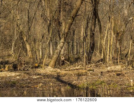 The magical spring forest the month of March beautiful landscape in the woods quietly and no one around a great place to relax in nature and meditation clean air around rest from the city bustle