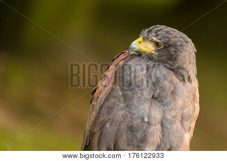 Awesome portrait of a Harris's hawk with a blurred background.