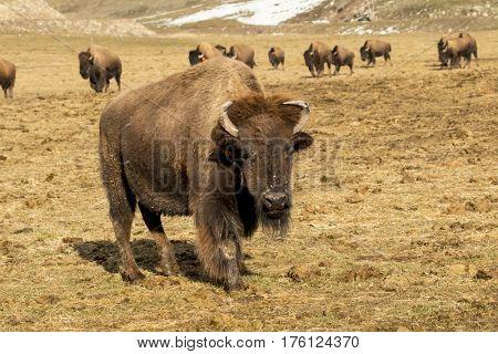 A herd of Buffalo grazing in an open field