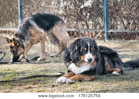 Bernese Mountain Dog Resting On The Ground, Shepherd Dog Standing Behind.