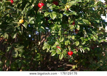 Red and yellow hips on a background of green leaves