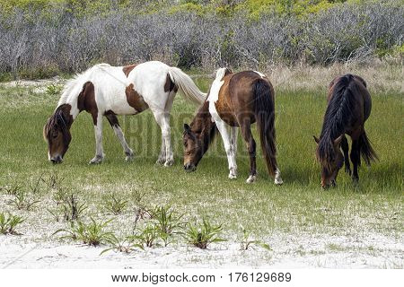 Two wild horse mares and stallion grazing on Assateague Island State Park, MD