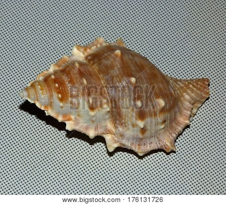 Brown dark shell on the grey background