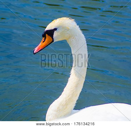 swan. Bird swan. White swan head. water