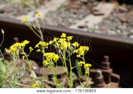 Yellow spring flowers on the railroad in the territory of the city