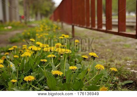 Thickets of the blossoming flowers of dandelions in city conditions
