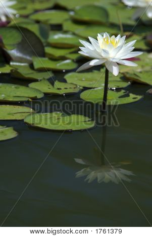 White Water Lily And Pond