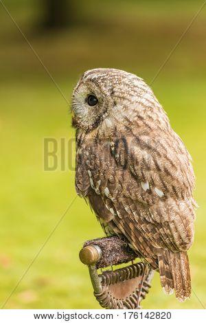 awsome portrait of the owl in captivity