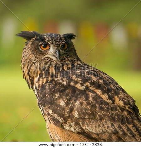 awesome portrait of the eurasian eagle-owl with a blurred background.