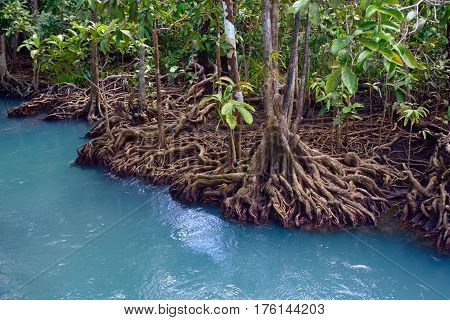 Mangrove forest in blue water, in Thailand Krabi
