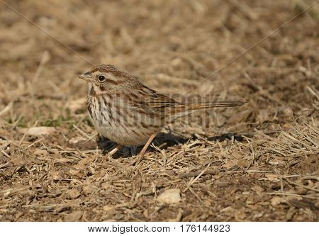 A Song Sparrow (Melospiza melodia) foraging for food on a sunny winter afternoon in Carroll County Maryland, USA.