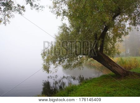 A tree above the water in a foggy morning in Catherine's Park in Tsarskoe Selo
