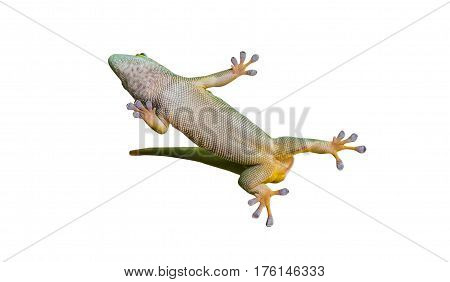 Close Up On Lizard Gecko On White Background
