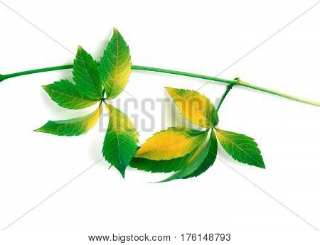 Yellowed Branch Of Grapes Leaves (parthenocissus Quinquefolia Foliage)