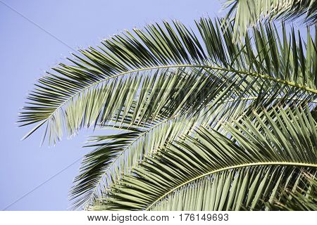 Palm branches close up over blue sky