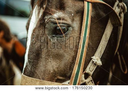 sad eyes of a horse in harness. horse eye close up