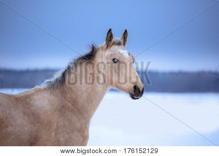 Portrait of palomino horse on winter background