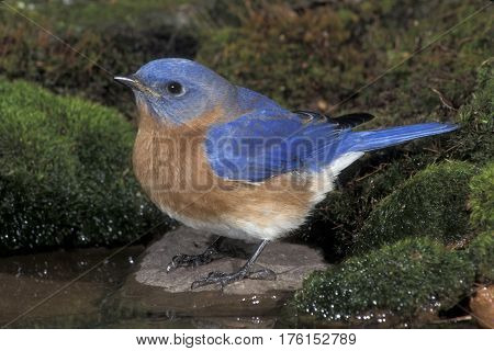 A male Eastern Bluebird, Sialia sialis stands at the edge of a small pond
