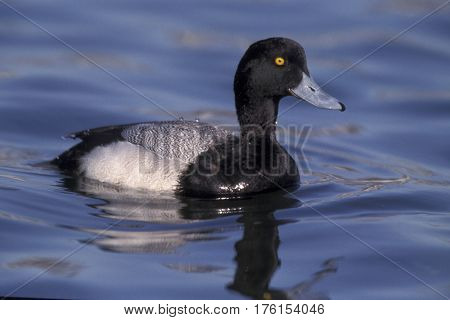 A Lesser Scaup duck, Ayrthya affinis in the winter on a lake in New Jersey