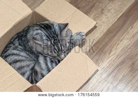 Grey tabby cat sleeps in a small box the concept of a home for the animals.