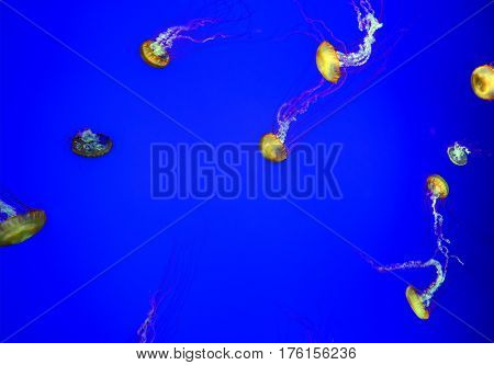 Lovely decorative small jellyfish in the blue water of the aquarium. The magical underwater world