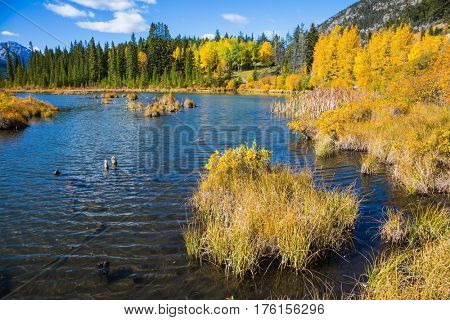 The lush golden autumn in lake Vermilion. Concept of ecotourism. Canadian province of Alberta, the Rocky Mountains, Banff