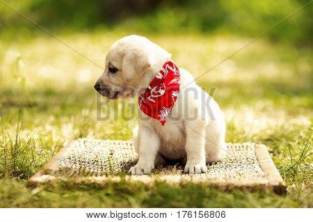 Labrador retriever puppy in the park on the nature. Labrador retriever puppy in the yard
