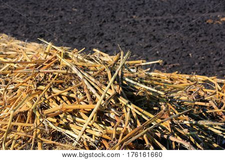 Yellow corn stalks on the background of the earth