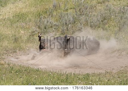 Bison Rolling in the Dust in the Hayden Valley in Yellowstone National Park in Wyoming