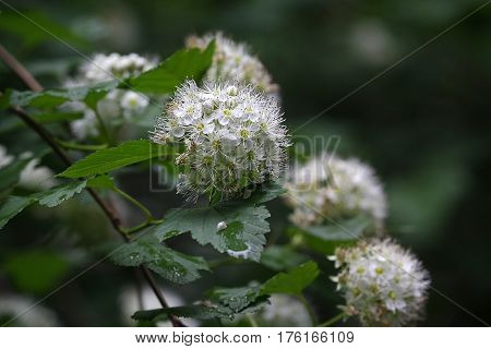 Flowers of a flowering hawthorn closeup. Nature