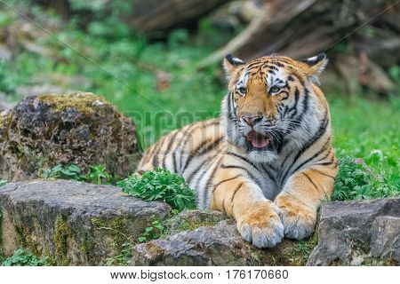 Young Bengal Tiger