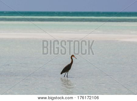 beautiful amazing landscape tropical view with lonely bird standing in  tranquil ocean at Cuban Cayo Coco island