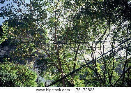 A long-tailed macaque (Macaca fascicularis) climbs on power lines in rural Malaysia.
