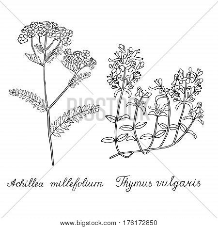 Thyme Yarrow Achilea Hand drawn sketched vector illustration. Doodle graphic